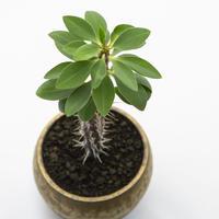 ユーフォルビア ホフスタッテリー Euphorbia hofstaetteri