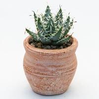 アロエ エリナケア.1 Aloe melanacantha ssp./var. erinacea
