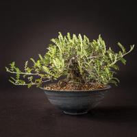 磯ざんしょう(磯山椒)Osreomeles anthyllidifolia var. subrotunda