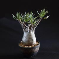 パキポディウム グラキリス Pachypodium rosulatum var.gracilius1