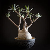パキポディウム グラキリス Pachypodium rosulatum var.gracilius⑩