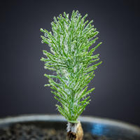 エリオスペルマム  パラドクサム(霧氷玉)  Eriospermum paradoxum