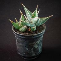 サンズベリア ピングイキュラ Sansevieria pinguicula