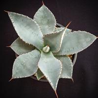 アガベ ピグマエア ドラゴントゥース    Agave pygmaea dragontoes