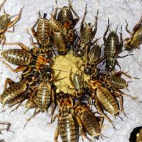 活き餌:フタホシコオロギL(100匹)