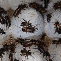 活き餌:フタホシコオロギM(10匹)