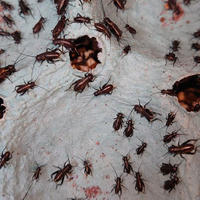 活き餌:フタホシコオロギS(100匹)