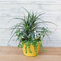 黄色い鉢がかわいい観葉植物の寄せ植え