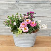 ピンク色の花のブリキ鉢寄せ植え