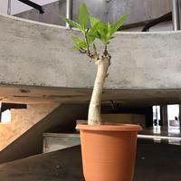 Adansonia digitata バオバブ アダンソニアディギタータ 2