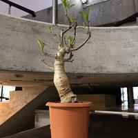Adansonia digitata バオバブ アダンソニアディギタータ 1