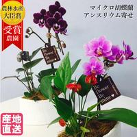 アンスリウムとマイクロ胡蝶蘭の寄せ植え マウント鉢4号 観葉植物