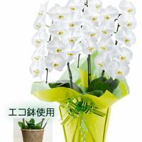 大輪胡蝶蘭3本立 27輪以上 白 エコ鉢