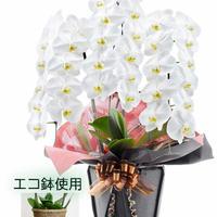 大輪胡蝶蘭3本立 33輪以上 白 エコ鉢