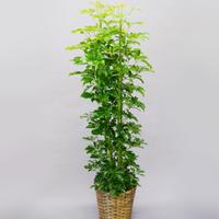 観葉植物 カポック 10号