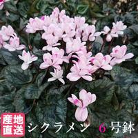 シクラメン フェアリーピコ ピンク 6号鉢 八重咲き
