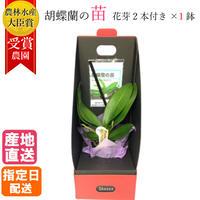 マイクロ胡蝶蘭の苗 シングル 2.5号 『2WAYギフトBOX入り』花芽2本付き