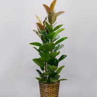観葉植物 ゴムの木 10号