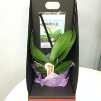 自宅で育てる胡蝶蘭の苗 花芽2本付き2WAYテーブルBOX入り