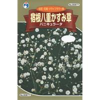 八重かすみ草バニキュラータ / 送料込 種セット 4g ギフト