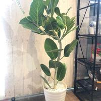 ゴムの木 ベンガレンシス オードリー 7号鉢