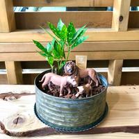 MINI Safari Plants -ライオン-