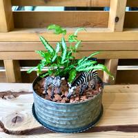 MINI Safari Plants -シマウマ-