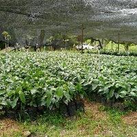 自家焙煎 ドミニカAA ラミレス農園 100g