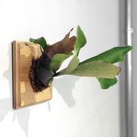 FERN plaque / Ash