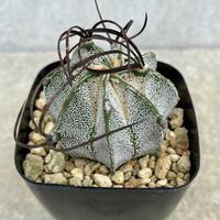 120、Astrophytum  特白瑞鳳玉