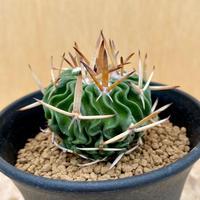 127、Echinofossulocactus 鶴鳳竜(実)