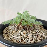 50、Pelargonium appendiculatum