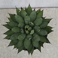 111、Agave 'Royal Spine'