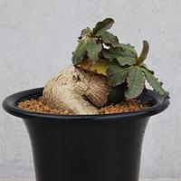 115、Euphorbia primulifolia