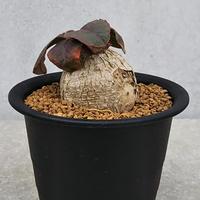 127、Euphorbia primulifolia
