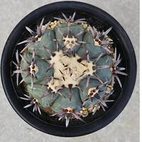 78、Echinocactus 太短刺雷帝(実生)