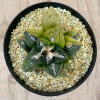 54、Astrophytum 亀甲牡丹錦(実)