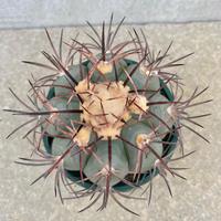 95、Echinocactus ニコリー