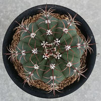 2、Melocactus マタンザナス
