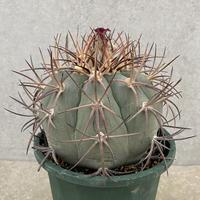 42、Echinocactus ニコリー