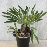 24、Euphorbia 鉄甲丸