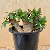 82、Euphorbia itremensis