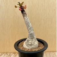 76、Euphorbia ラメナ