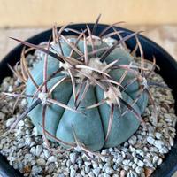 37、Echinocactus 太平丸(実)