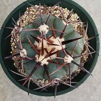 116、Echinocactus 雷帝(実生)