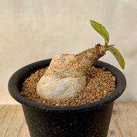 58、Euphorbia プリムリフォリア