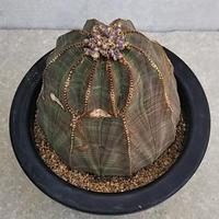 108、Euphorbia obesa