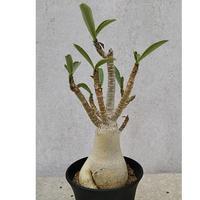 9、Adenium arabicum