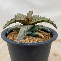 100、Aloe castilloniae