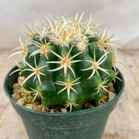 50、Echinocactus プラチナ金鯱